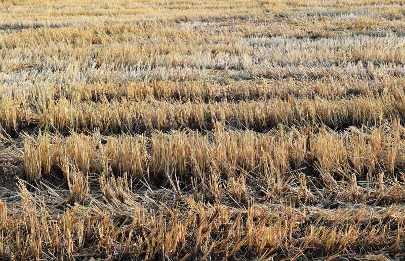 Ryżowa ścierń w ryżu polu po harves zdjęcie stock