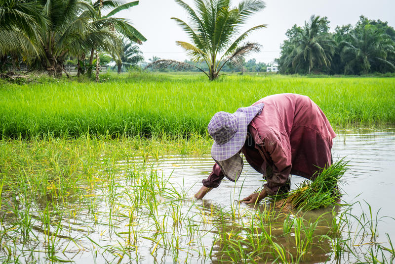 Ryżowa średniorolna praca mocno obrazy stock