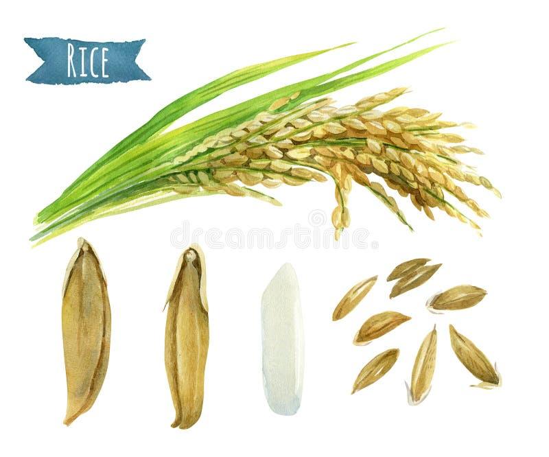 Ryżowa akwareli ilustracja z ścinek ścieżkami royalty ilustracja