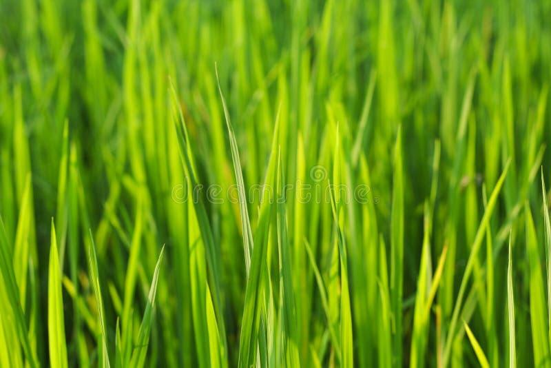 Ryżowa roślina zdjęcia royalty free