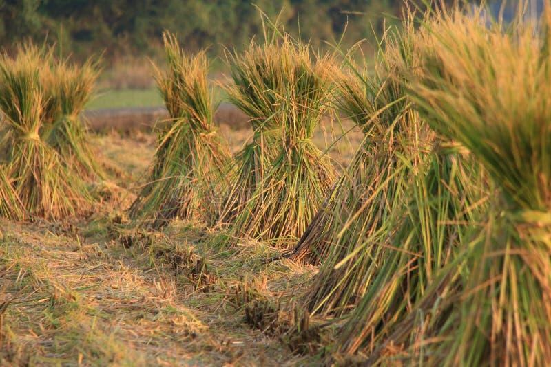 ryżowa słoma fotografia royalty free