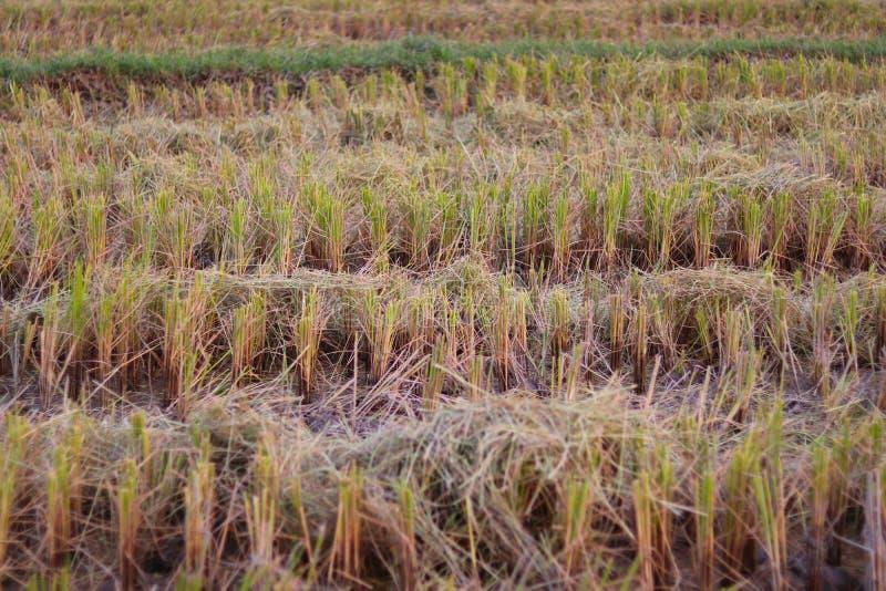 Ryżowa słoma przy irlandczyków ryż polem zaraz po zbierać fotografia royalty free