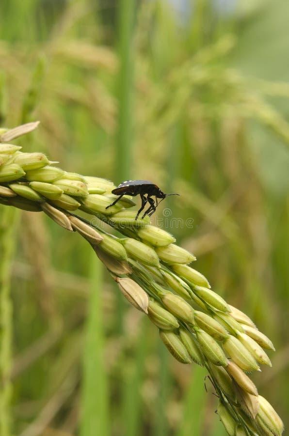 Ryżowe zarazy fotografia stock