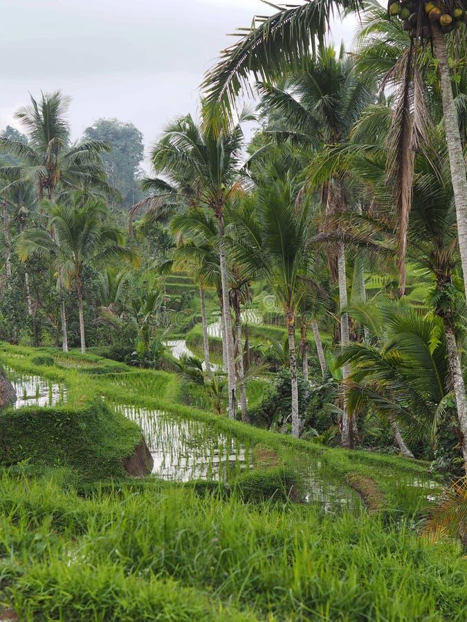Ryżowego irlandczyka taras i palmy w Bali, Indonezja zdjęcie royalty free