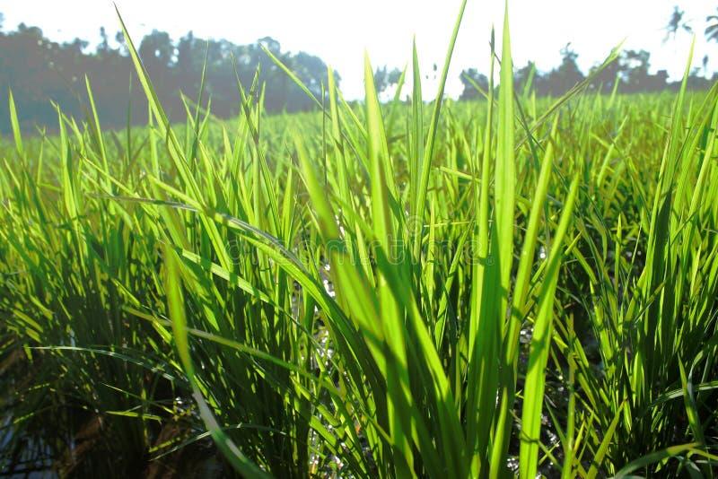Ryżowi pola obrazy royalty free