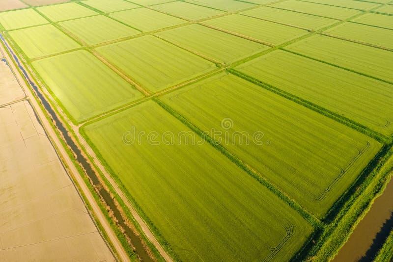Ryżowi pola zalewają z wodą Zalewający ryżowi irlandczycy Agronomic metody rosnąć ryż w polach obrazy stock