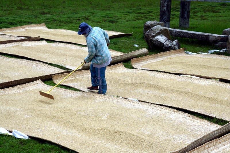 Ryżowi rolnicy miewa skłonność zbierających ryż i suszy obraz stock