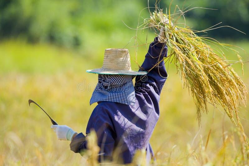 ryżowi tnący pola obrazy stock