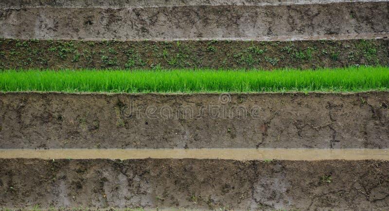 Ryżowy dorośnięcie na polu w Lai Chau, Wietnam obrazy stock