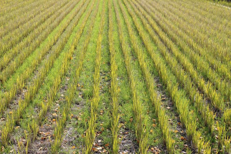 Ryżowy irlandczyk w wczesnej wiośnie obrazy stock