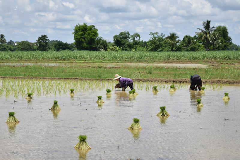 Ryżowy narastający teren obrazy royalty free