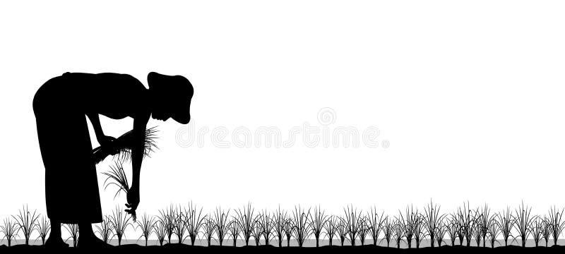 ryżowy przeszczepianie ilustracja wektor