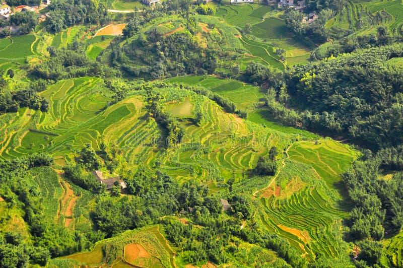 Ryżowy przeszczepianie w Sichuan zdjęcia royalty free
