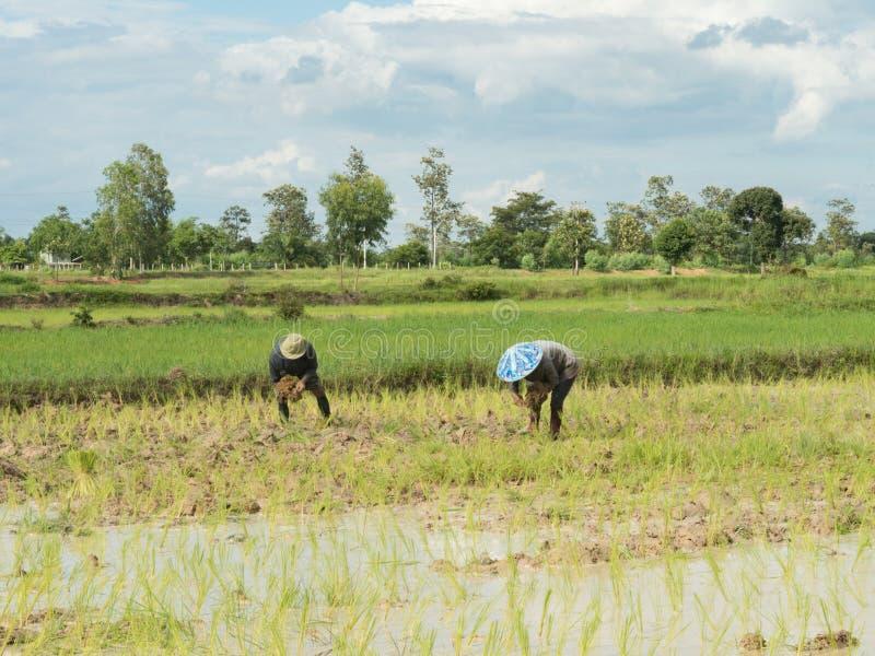 Ryżowy uprawia ziemię sezon w Tajlandia zdjęcie royalty free