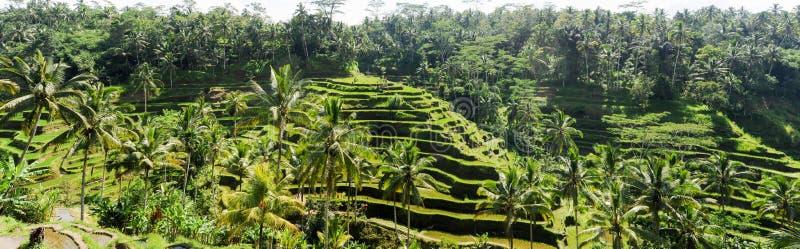Ryżowych irlandczyków pole blisko Ubud na Bali zdjęcia stock