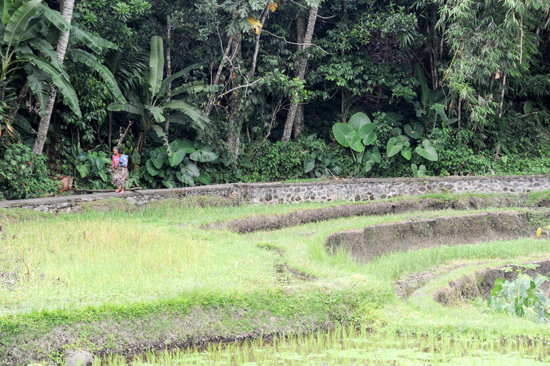 Ryżowych irlandczyków pole blisko Ubud na Bali obrazy royalty free
