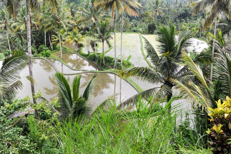 Ryżowych irlandczyków pole blisko Ubud na Bali fotografia stock