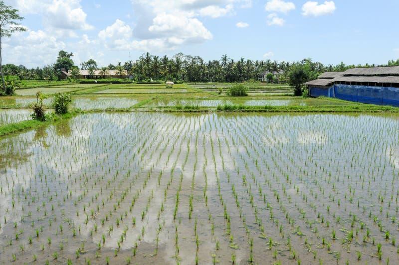 Ryżowych irlandczyków pole przy Ubud na Bali obraz stock