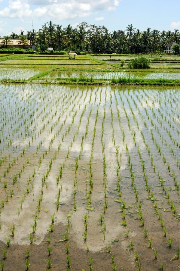 Ryżowych irlandczyków pole przy Ubud na Bali zdjęcie royalty free