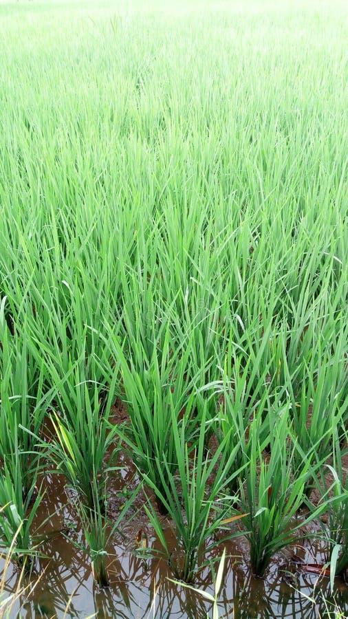 Ryżowych rośliien rolnictwo tropikalny zdjęcie royalty free
