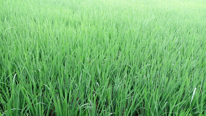 Ryżowych rośliien rolnictwo tropikalny zdjęcia royalty free