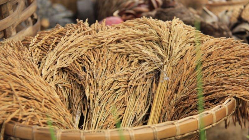 ryżu ziarno grandam obraz stock