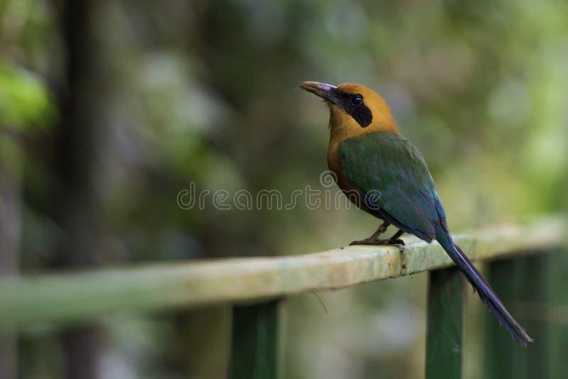 Ryży Motmot, Baryphthengus Martii Przyroda w Costa Rica obrazy royalty free