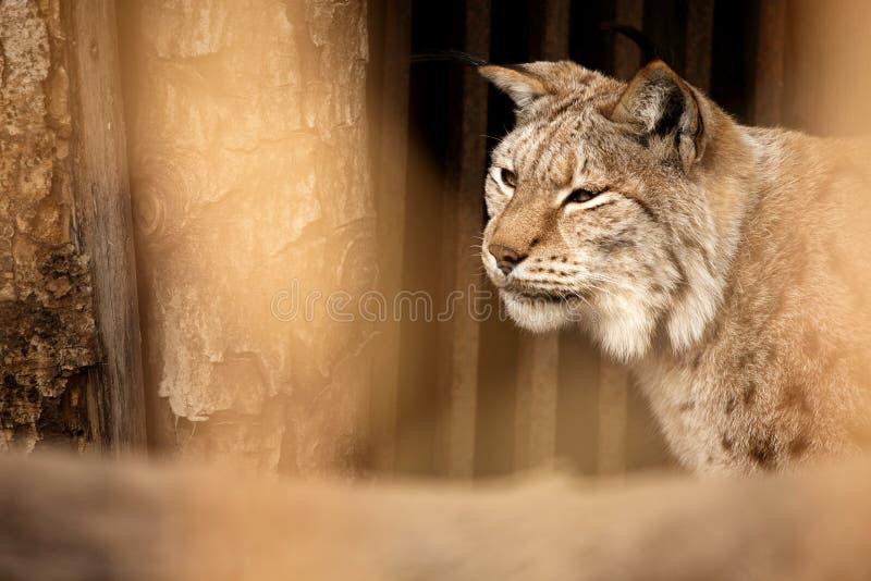 Download Ryś obraz stock. Obraz złożonej z dziki, ssak, bobcat - 17790491