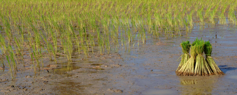 Ryż w warunkach polowych