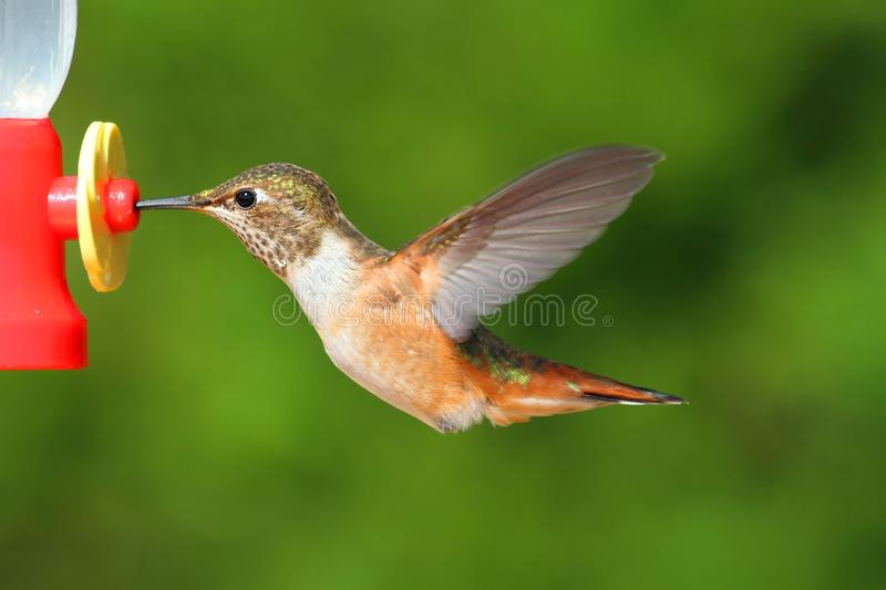 Download Ryży Hummingbird (Selasphorus Rufus) Zdjęcie Stock - Obraz: 29388736