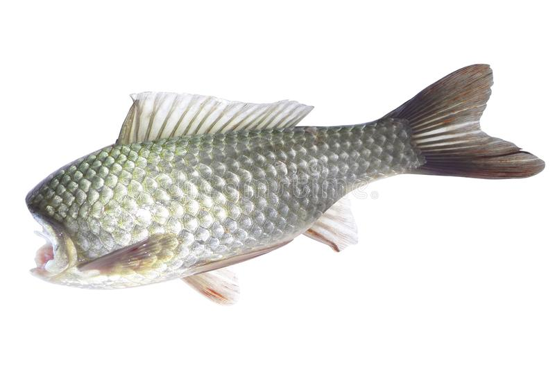 Ryba bez głowy na bielu fotografia stock