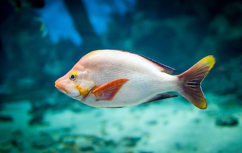 Ryba - lutjanus gibbus zdjęcia royalty free