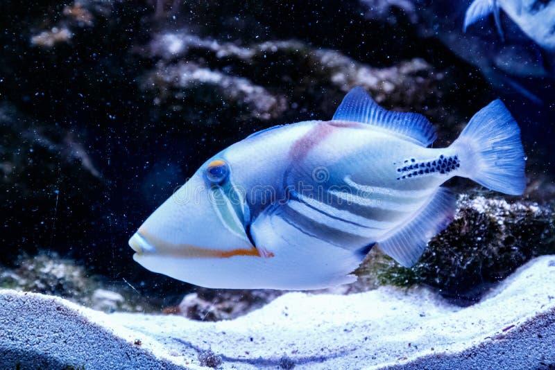 Ryba Malujący Triggerfish Rhinecanthus aculeatus fotografia stock