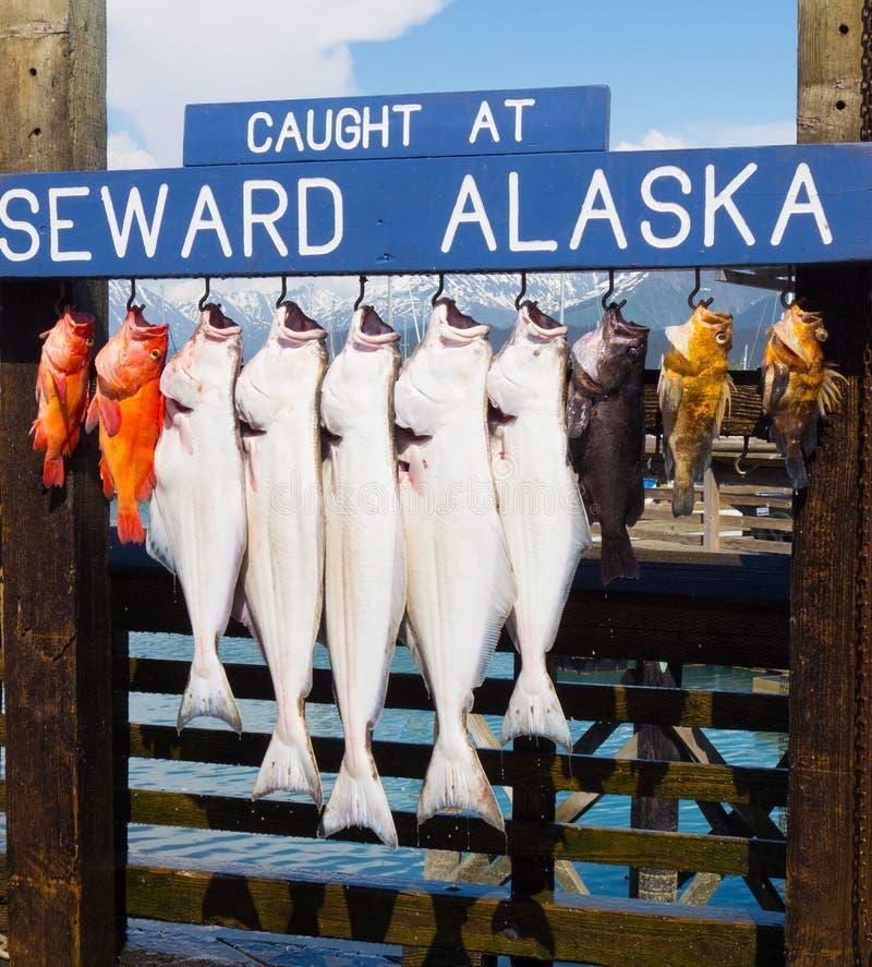 Ryba na pokazie na połowu doku seward zdjęcia royalty free