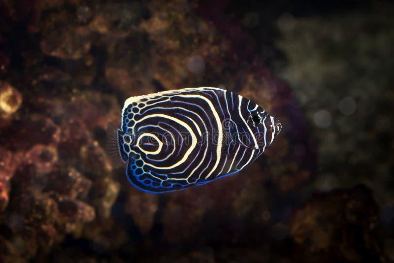 Ryba Pomacanthus navarchus anioła błękit girdled denna ryba fotografia stock