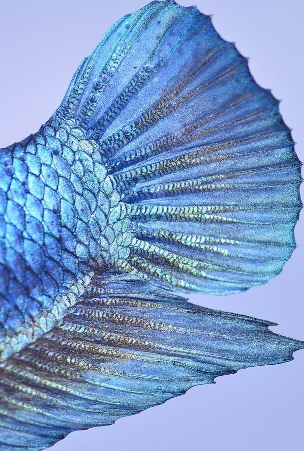 ryba siamese walczył zdjęcie royalty free