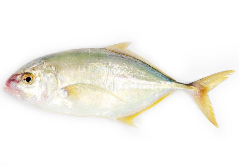 ryba travelly obraz royalty free