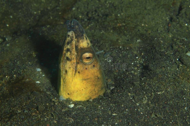 Ryba - Użebrowany węża węgorz obraz royalty free