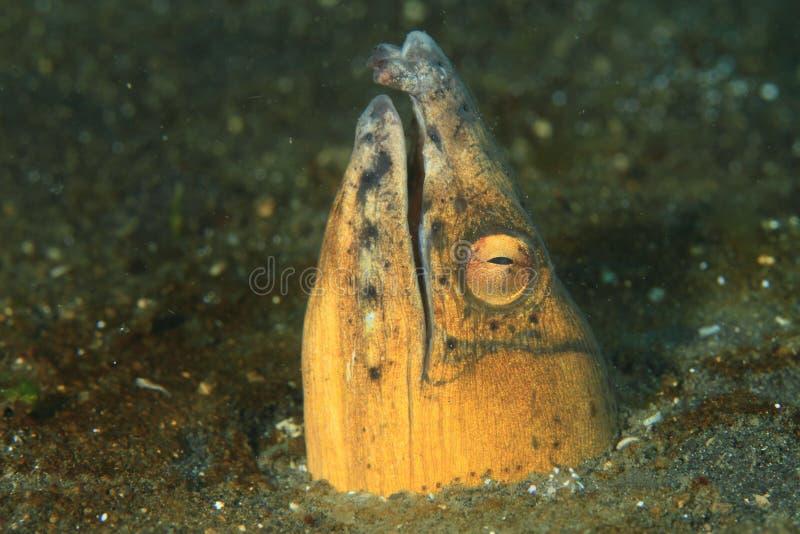 Ryba - Użebrowany węża węgorz fotografia royalty free