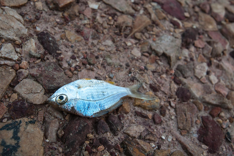 Ryba umierał na ziemi, suszie, rzece suszącej w górę skała mlejących pękających//famine, braka, globalnego nagrzania, naturalnego obraz stock