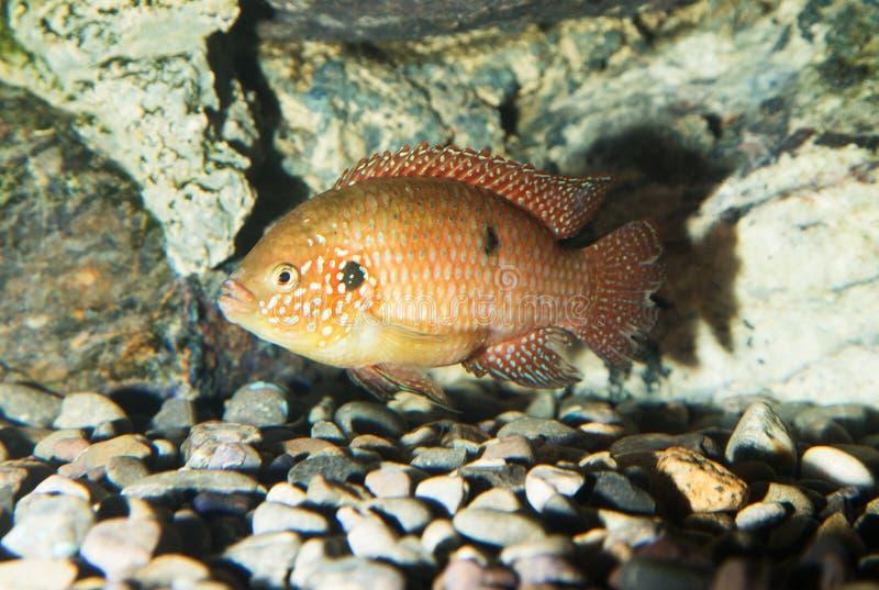 Ryba w akwarium zdjęcia royalty free