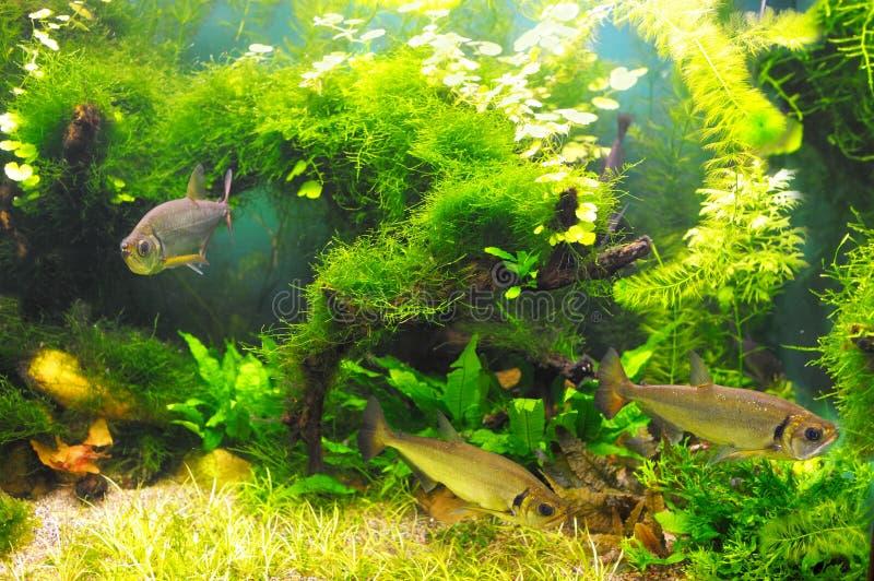 Ryba w algach zdjęcie royalty free