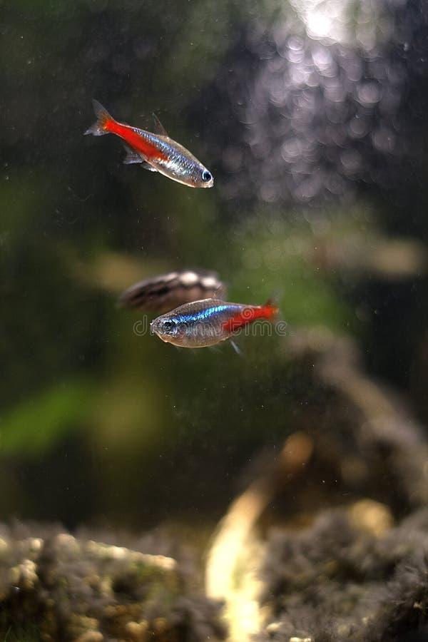 Ryba w domowym akwarium obrazy stock