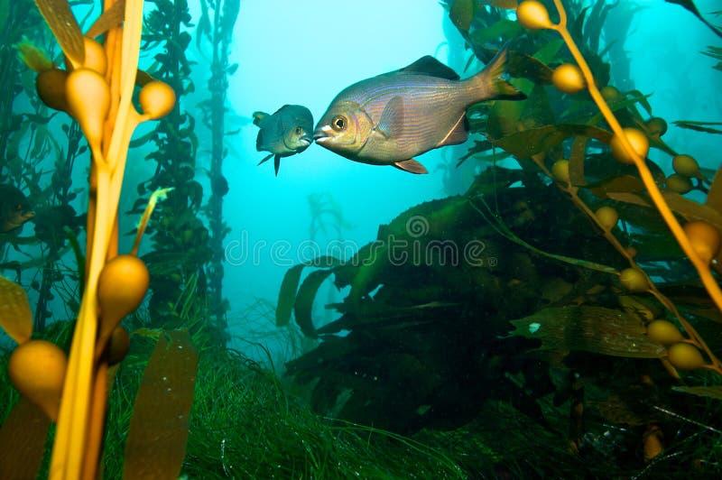 Ryba w Kelp fotografia stock