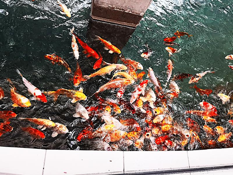Ryba w małym stawie zdjęcie royalty free