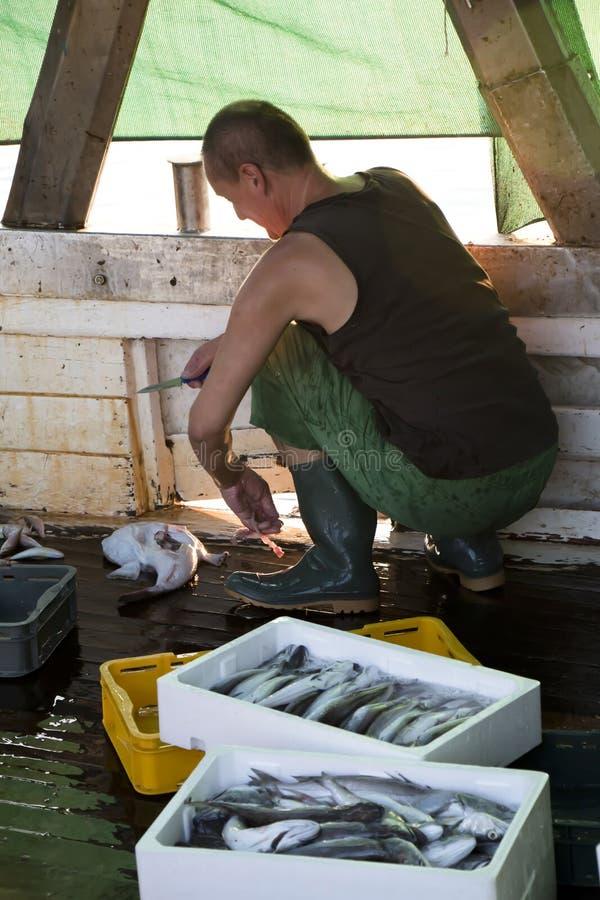 Rybak patroszyje ryba na pokładzie trawler łódź obraz stock