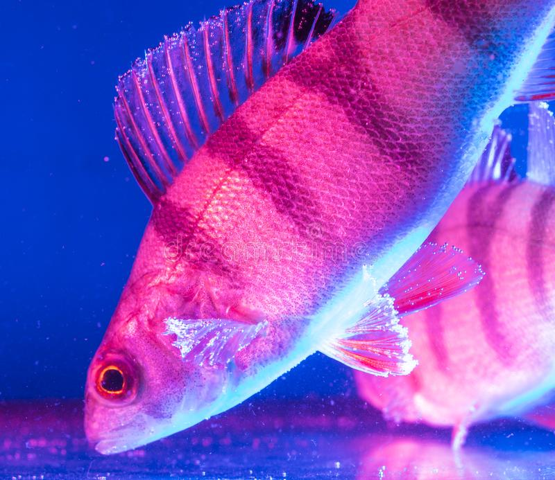 Rybi żerdzi pływania w akwarium w błękicie i menchiach barwią obrazy royalty free