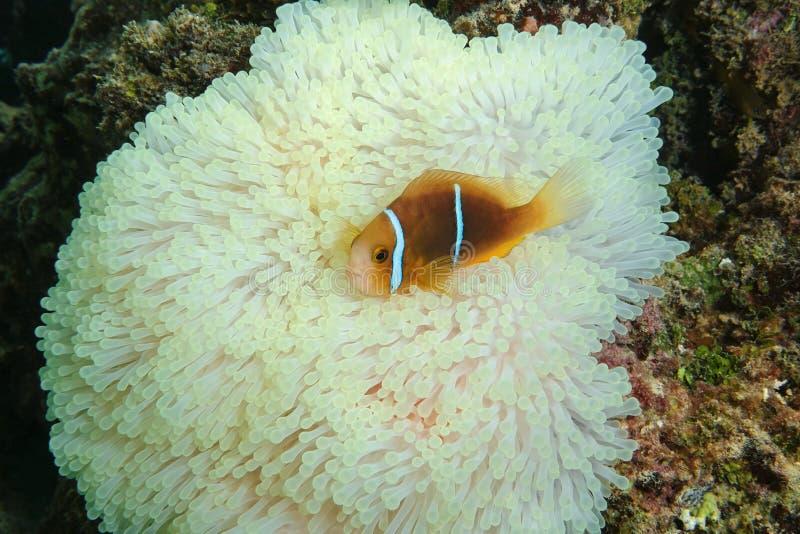 Rybi anemonefish na dennego anemonu czułkach fotografia stock