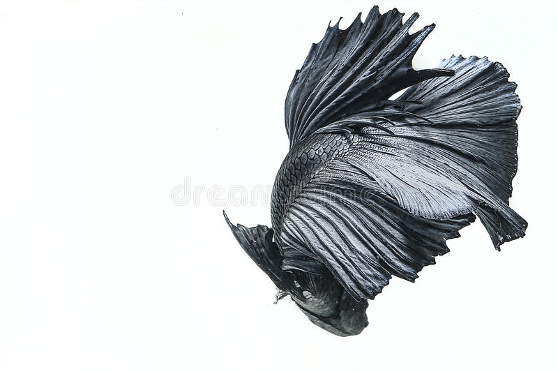Rybi Betta fotografia stock