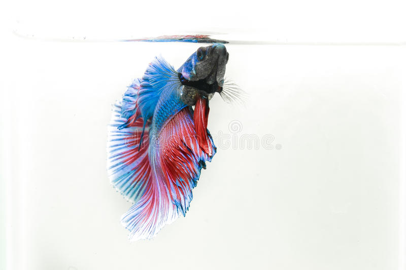 Rybi Betta obraz royalty free